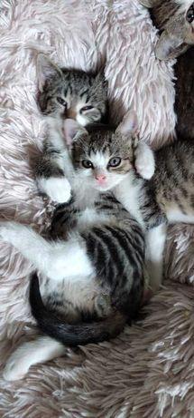 Eli i Kisiel - kociaki do adopcji w dwupaku :)