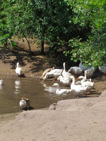 Продаю стадо гусей