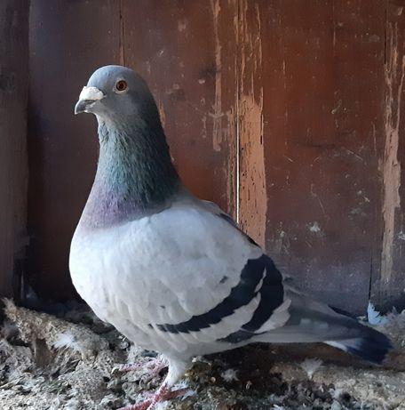 Поштовий голуб. Обмін