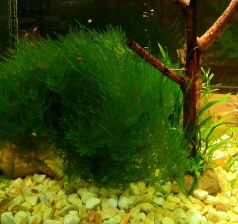 Продам аквариумний мох Анчер