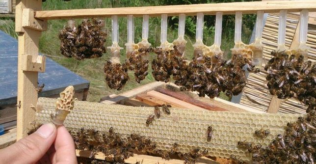 Отправим Меченая. Всегда в наличии. (Пчеломатки) Карпатка.