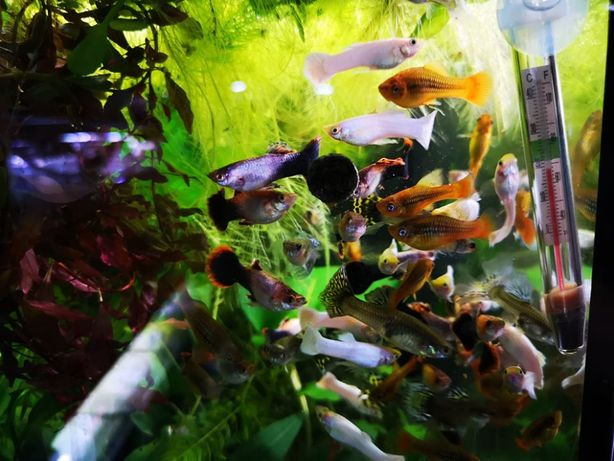 Ryby akwariowe LISTA RYB w sklepie Schangri.pl Podwodny Świat-KRAKÓW