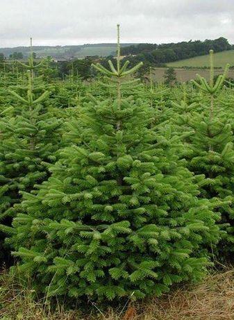 Jodła kaukaska 180-260 cm Drzewko bożonarodzeniowe cięte Choinka VIP