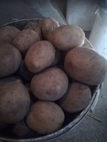Ziemniaki satina lord