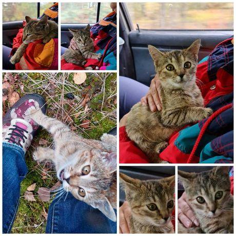 Полосатый кошечка из леса, девочка, 3 мес, кошка котенок