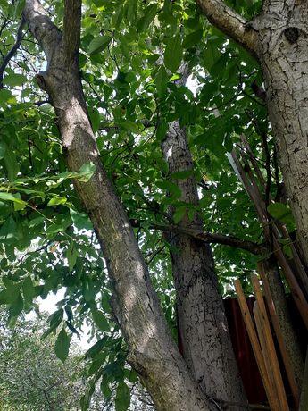 Drzewo orzech ładne trzy konary ok 12m