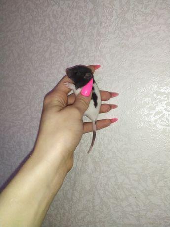 Черно белые и черные крыски