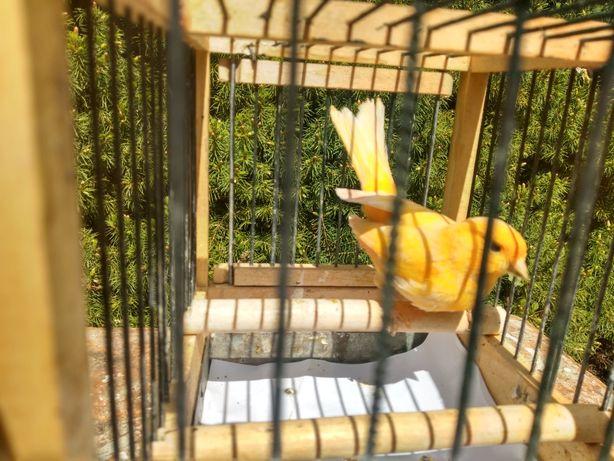 Samczyk kanarek na pełnym śpiewie.