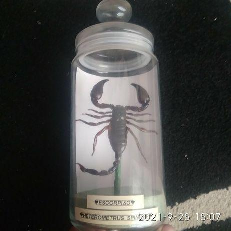 Escorpião Embalsemado