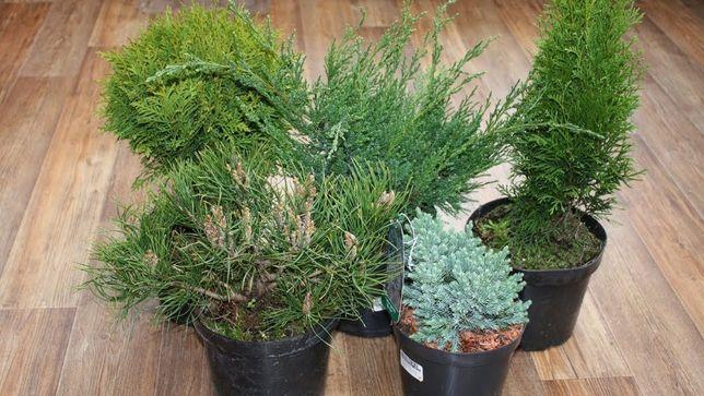 Хвойные растения 2021 для сада и живой изгороди. Все разновидности