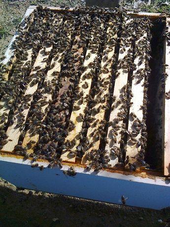 Enxames de abelhas (10 quadros) colmeia Reversível