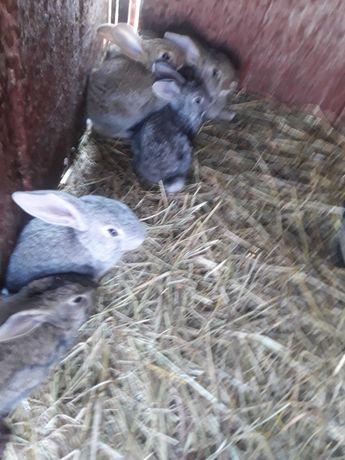 Króliki króliki.