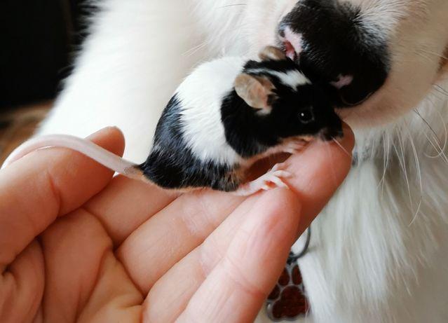 Młode myszki samce
