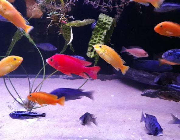 Aulonocara fire fish pyszczaki