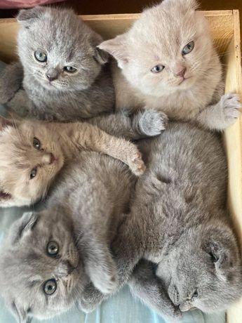 Кошенята шотландці