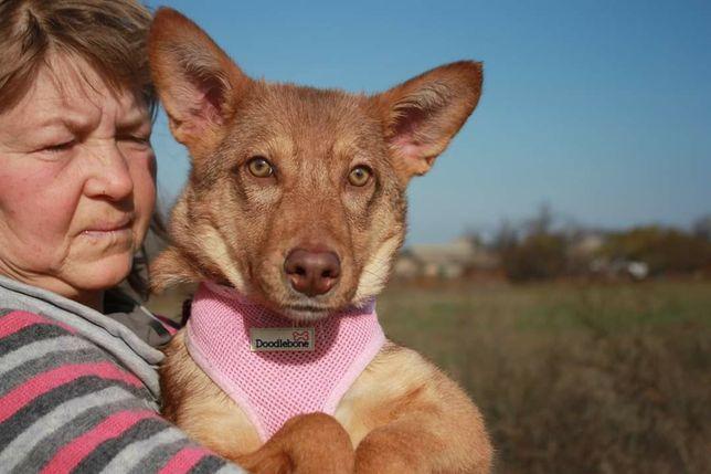 Молодая собака ищет дом! Медовая девочка в хорошие руки
