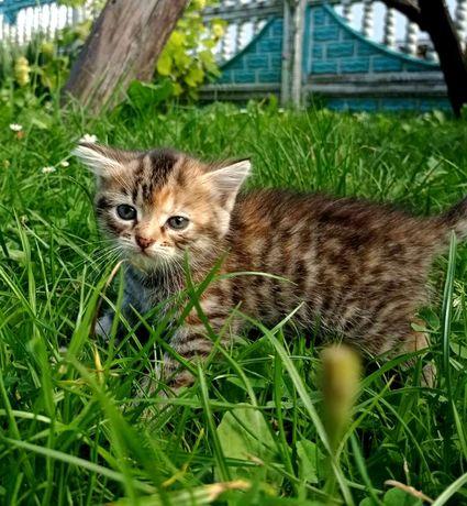 Подаруєм кошенят тигрових в добрі руки