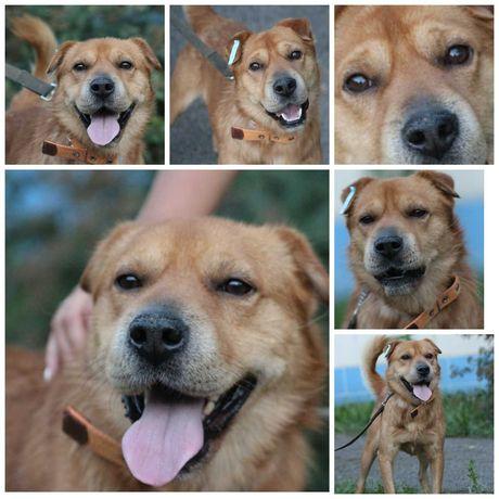 Улыбчивый рыжий пес Арчи, 1,5 года, 12 кг, кастрирован,
