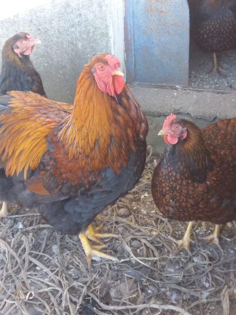 Galos, galinhas, pintos e frangos Wyandotte Perdiz dourado