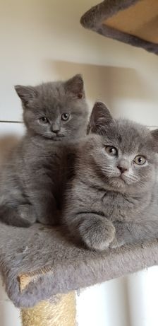 Śliczne Kotki i Kocurki Koty Kocięta Brytyjskie z PRAWEM HODOWLANYM