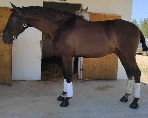 Cavalo PSL com bons andamentos