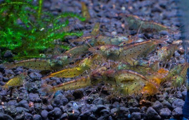 Caridina Aura Green - Bee-shrimp