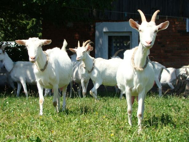 mleko w proszku koźlęta jagnięta kozy barany owce daniele alpaki