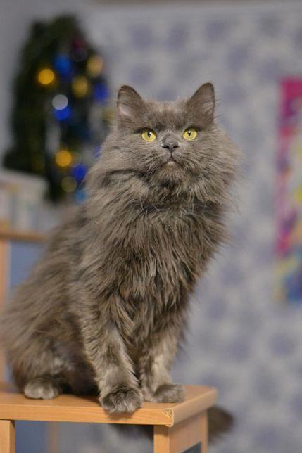пишношубий кіт 1р