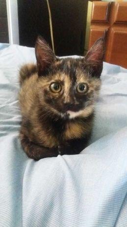 Котенок, девочка, 2 месяца, ласковая и добрая