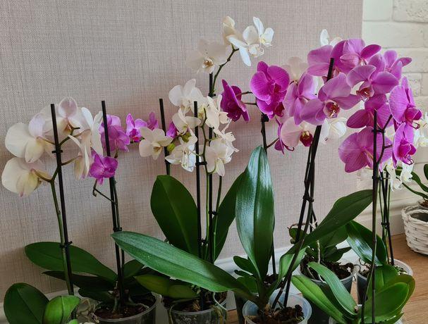 Фаленопсис  ,орхидея