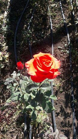 Кусты грунтовых роз