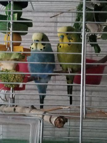 Zagineła papuga falista zielona