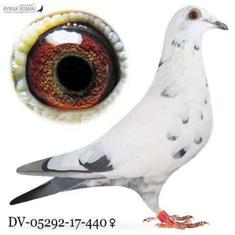 Młode 2021 para 19 Meuwke 84, Braveaheart 1340 gołąb gołębie pocztowe