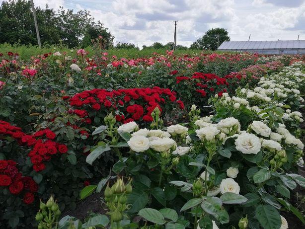Продам саженцы роз (саджанці троянд) от производителя