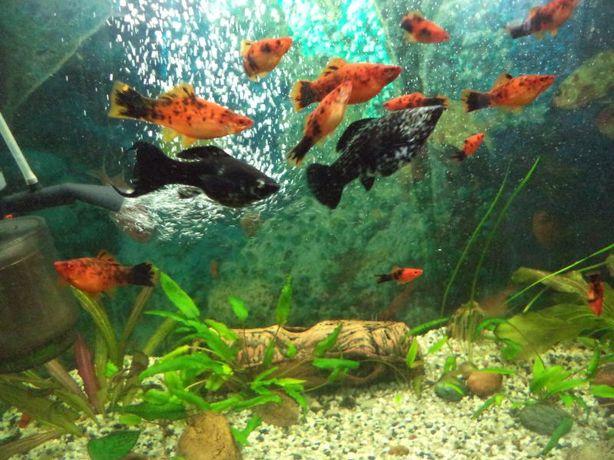 mieczyki berlińskie - ryby