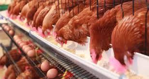 Kury młode kurki ROSA kolorowe z wybiegu. Sprzedaż z Dowozem