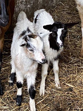 Casal de cabras micro anas