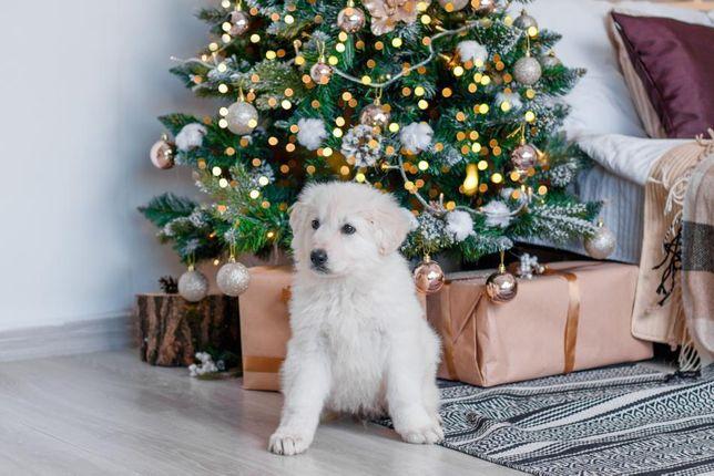 Бшо, Біла швейцарська вівчарка/ Белая швейцарская овчарка ксу