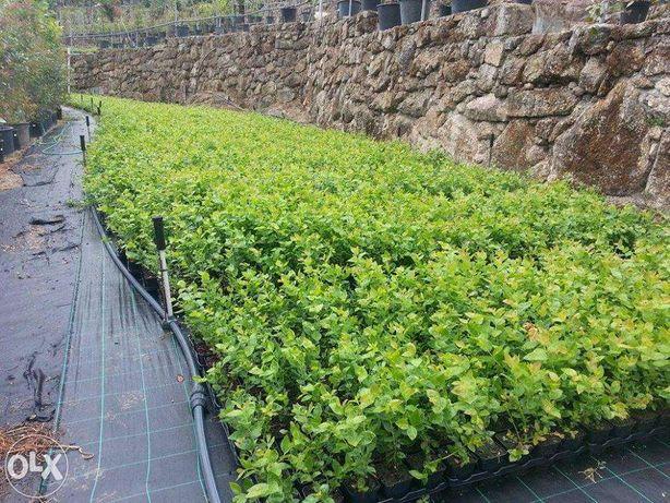 Mirtilos Plantações