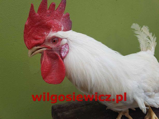 Kogut - sprzedam koguty odchowane, duże na mięso