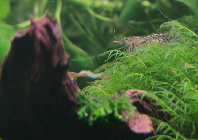 Krewetki do akwarium