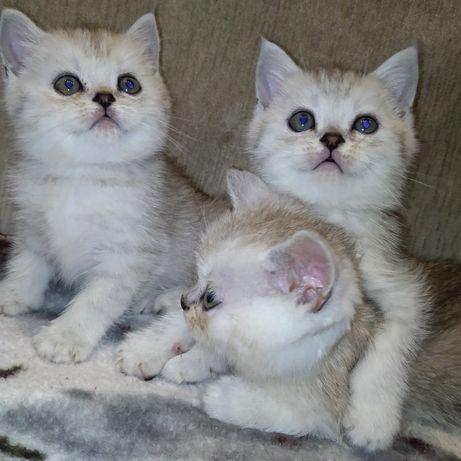 Котята британские шиншиловые