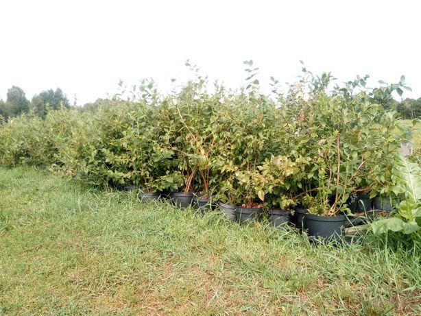 Sadzonki borówki amerykańskiej bluecrop