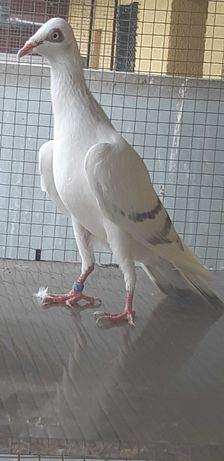 Gołąb pasiaczka perłowa