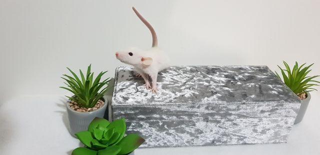 Szczury szczurki cudowne ogonki Dowóz pod drzwi