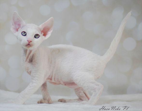Kochany biały chłopczyk Devon Rex Hasu'Neko*PL