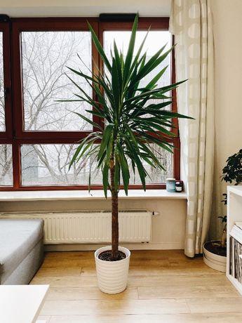 Wysoka Roślina / Drzewko Yucca Elephantipes 190cm (Jukka, Juka)