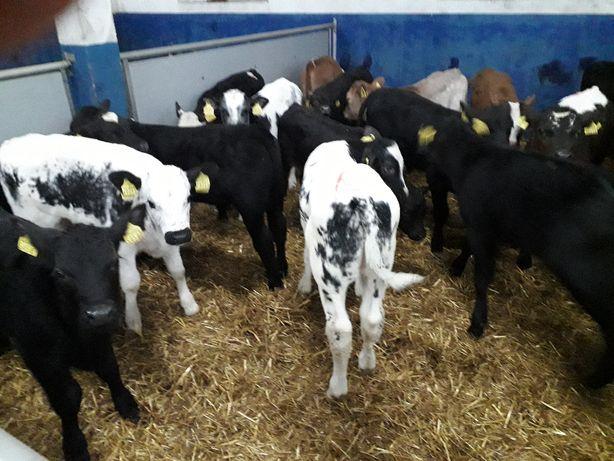 Sprzedam cielęta mięsne byczki, jałowki, OKAZJA!!!
