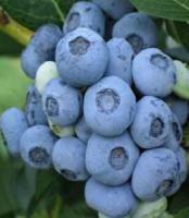 Голубіка актинідія гумі гортензія жимолость їстив хурма лимоник обліпи