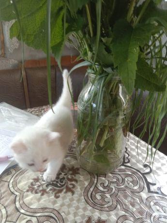 Котята белые